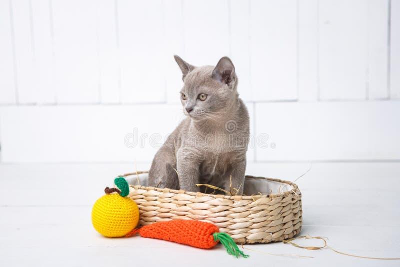 kattungen som grå färger föder upp, burmesen, sitter i en vide- korg Nästa leksak som virkas i form av frukt Vit bakgrund arkivbild