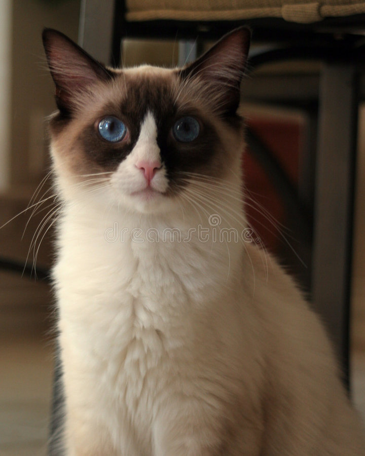 kattungeragdoll fotografering för bildbyråer