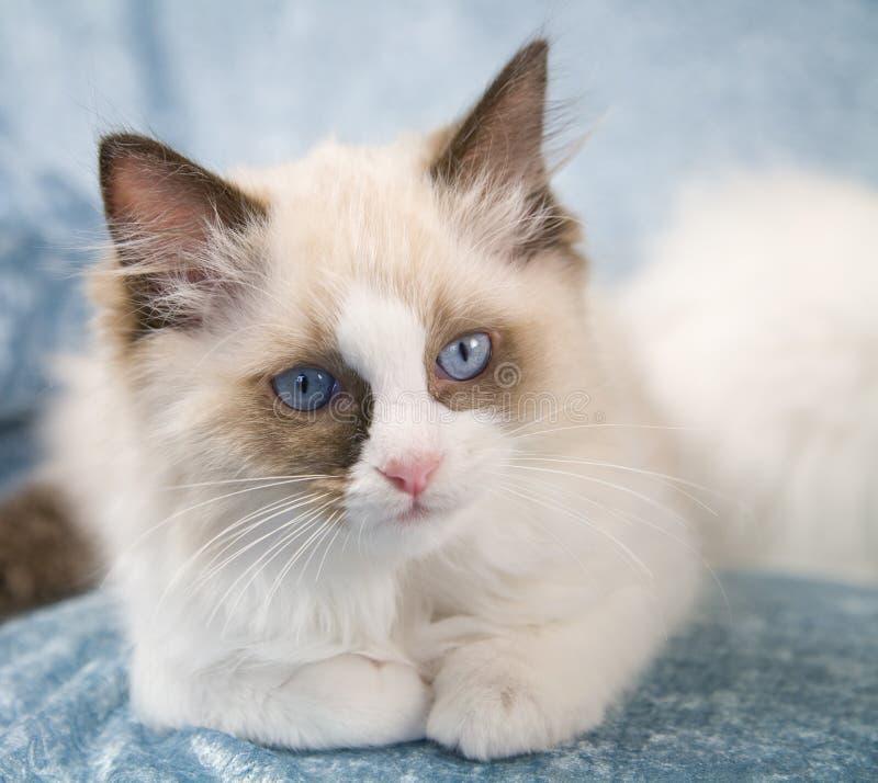 kattungeragdoll arkivbild