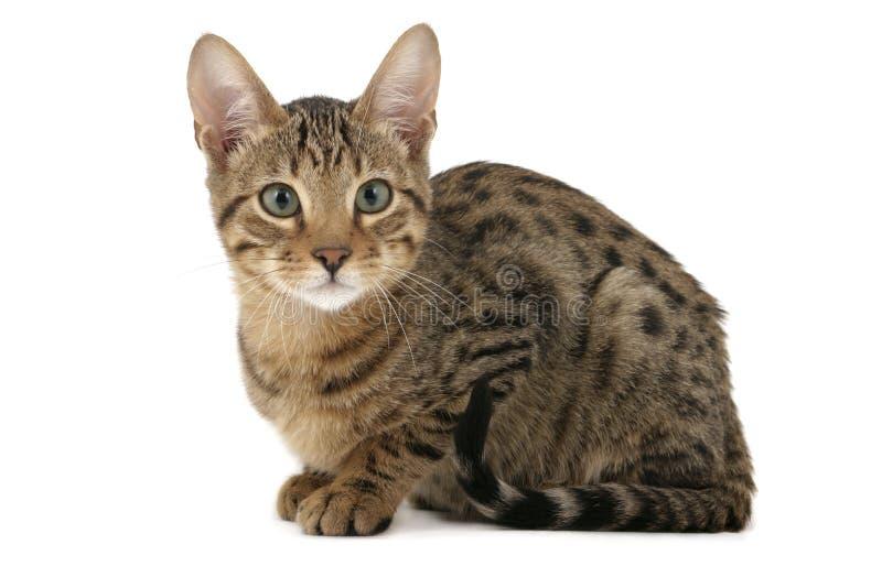 kattungeserengeti arkivfoto