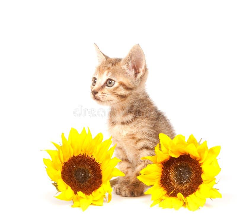 kattungesolrostabby royaltyfria foton