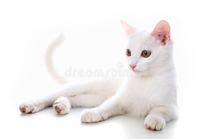 kattungewhite arkivbild
