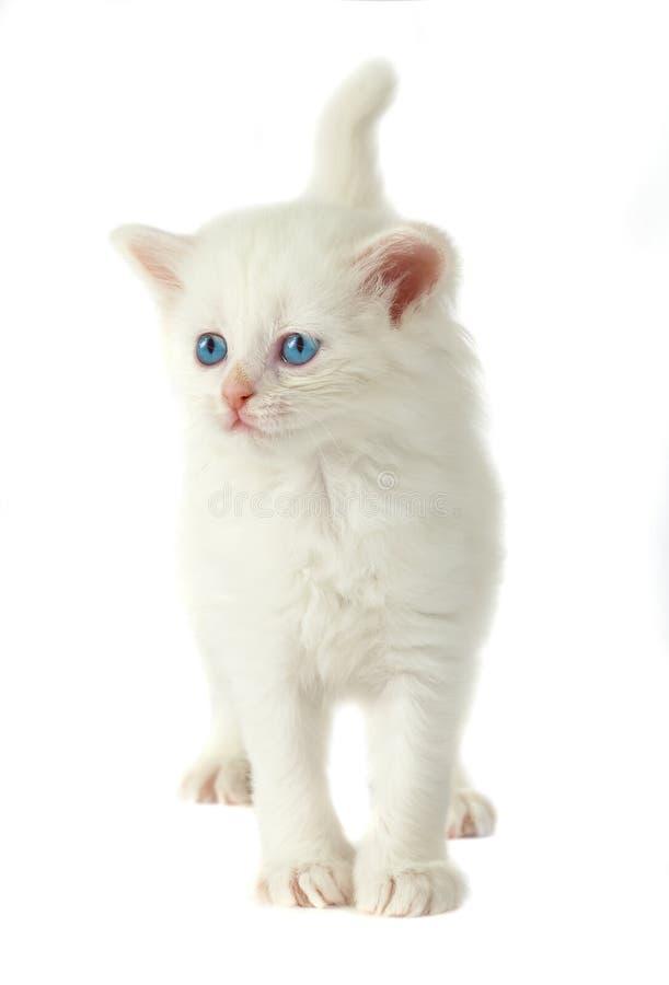 kattungewhite för blåa ögon royaltyfri fotografi