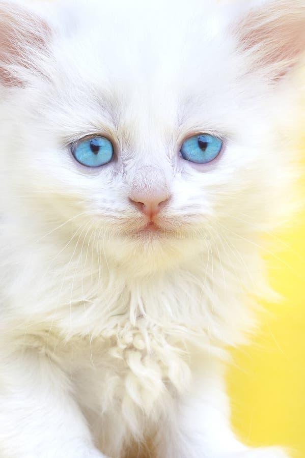 kattungewhite för blåa ögon arkivbild