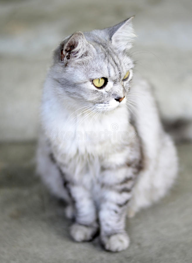 kattuppförande persia royaltyfri bild