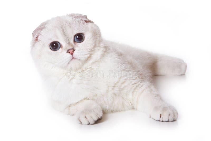 kattveckskott royaltyfria bilder