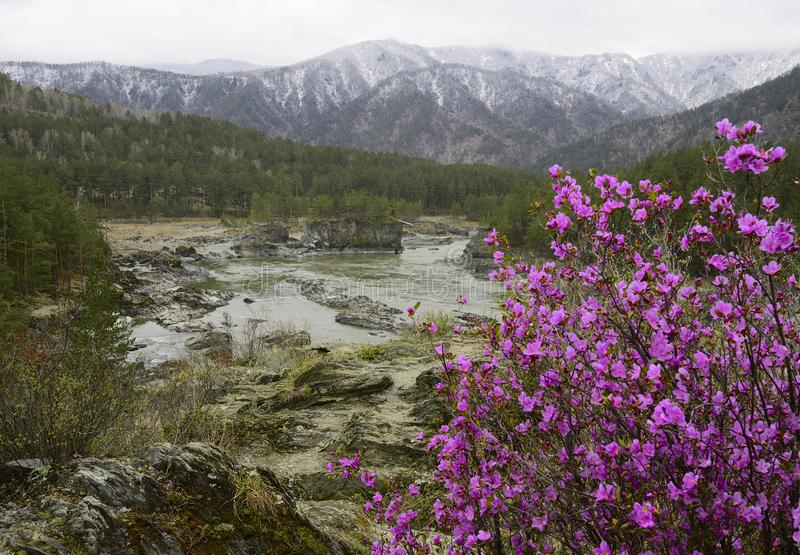 Katun mountain valley with blooming maralnik. River valley surrounded by the Altai mountains. Bright pink blooming maralnik, pine trees on the rocky shore, snowy stock images
