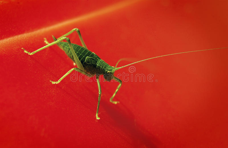 Download Katydid stock photo. Image of centrum, color, insects - 18582952