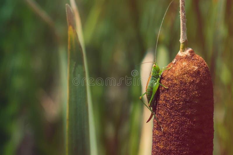 Katydid auf Cattail lizenzfreies stockbild