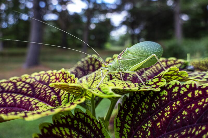 Katydid on coleus leaf royalty free stock photography