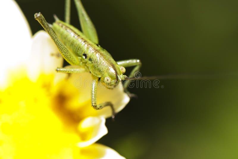 Katydid (glabricauda) Odontura, мыжская нимфа стоковое изображение rf