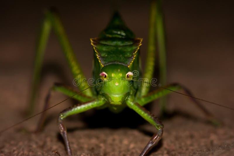 Katydid konfrontiert den Kamerakopf an stockfotos