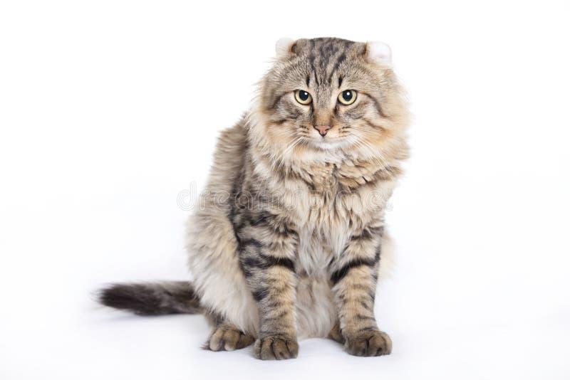 Katze, amerikanische Rotation lizenzfreie stockbilder