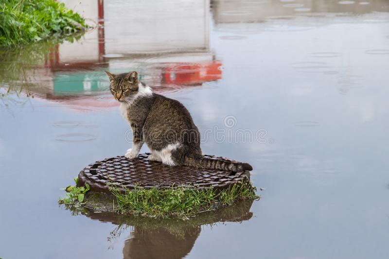 Katze auf Abwasserkanaldeckel - wie auf Insel im Wasser nach Regen stockfotografie