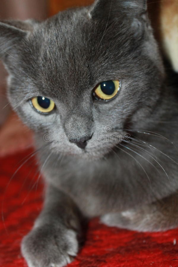 Katze auf der Jagd für eine Maus lizenzfreies stockbild