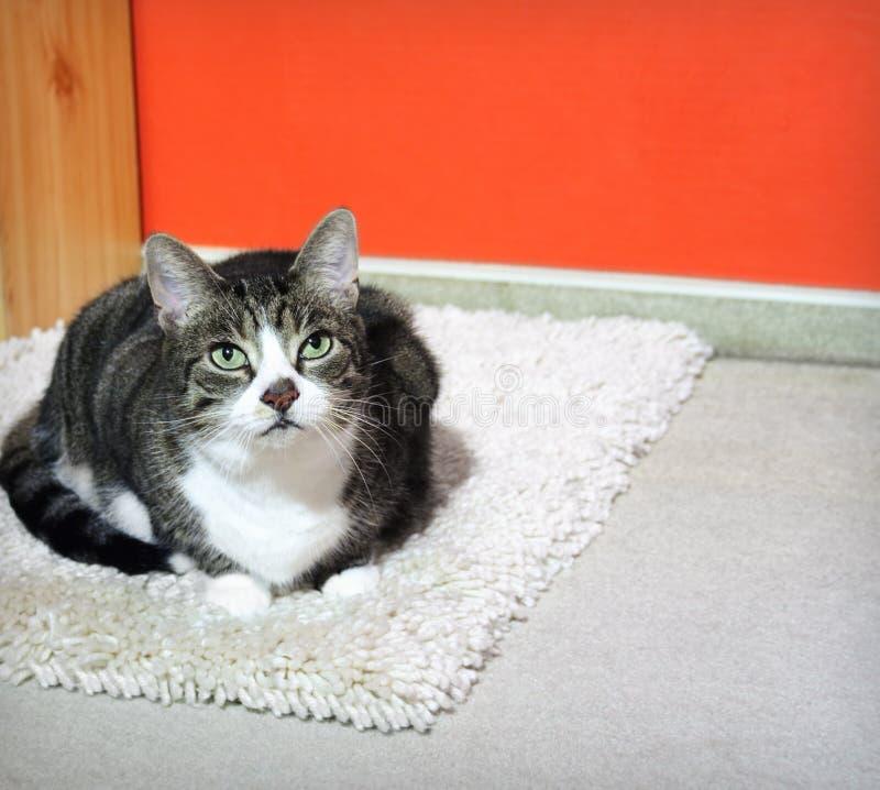 Katze auf einem Teppich stockfotografie