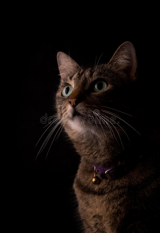 Katze Brown-getigerter Katze auf dunklem Hintergrund stockbild