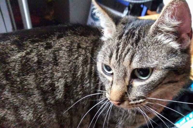 Katze in der Betrachtung lizenzfreie stockfotografie