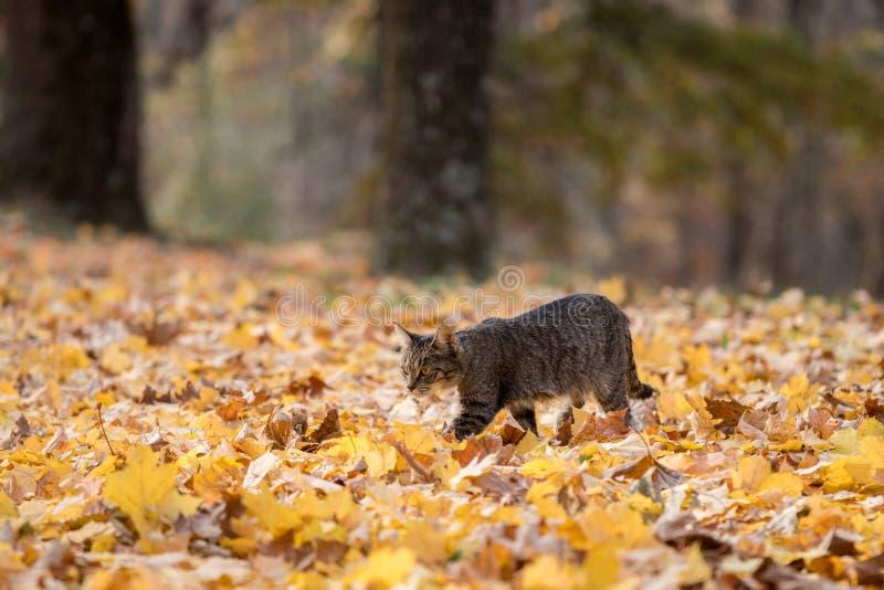 Katze der getigerten Katze in den Fallblättern lizenzfreies stockfoto