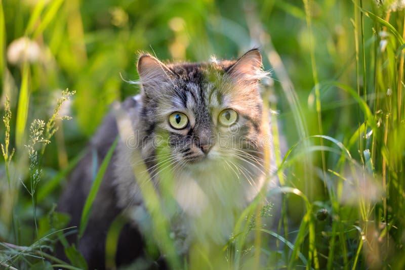 Katze der getigerten Katze, die im Gras sich versteckt stockfoto