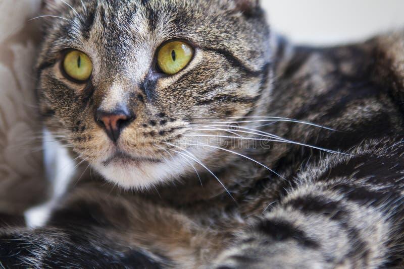 Katze der getigerten Katze, die intensiv den nahen Abstand mit vibrierenden gelben Augen untersucht stockbild