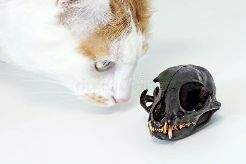 Katze der getigerten Katze, die zu einem Katzenschädel neugierig schaut lizenzfreies stockfoto