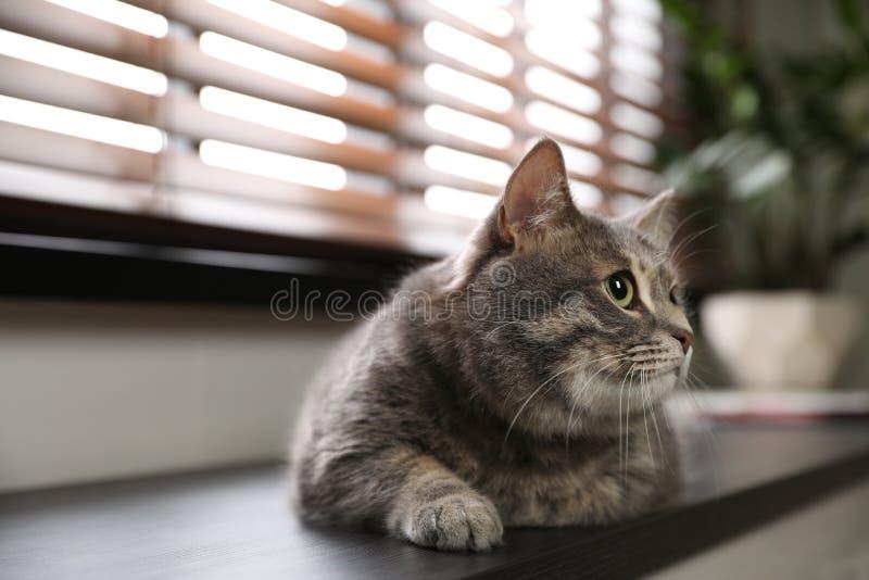 Katze der getigerten Katze, die zuhause auf Fensterbrett liegt Nettes Haustier stockfotos