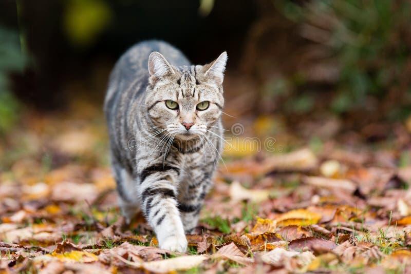 Katze der getigerten Katze auf dem Prowl lizenzfreie stockfotos