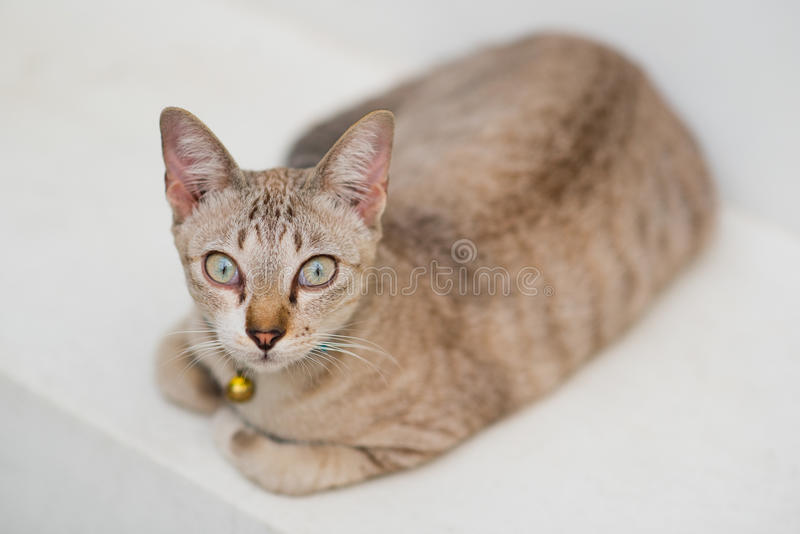 Katze der getigerten Katze der Sahnefarbe lizenzfreie stockfotografie