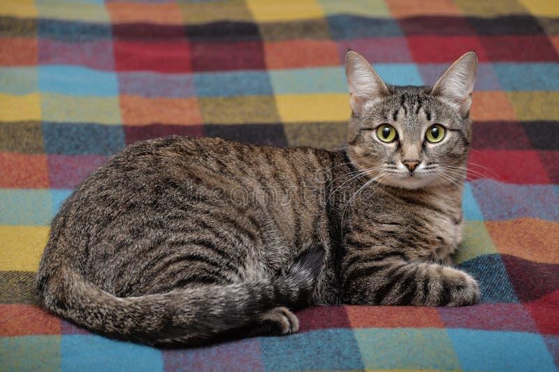 Katze der getigerten Katze, die auf Decke niederlegt lizenzfreies stockbild