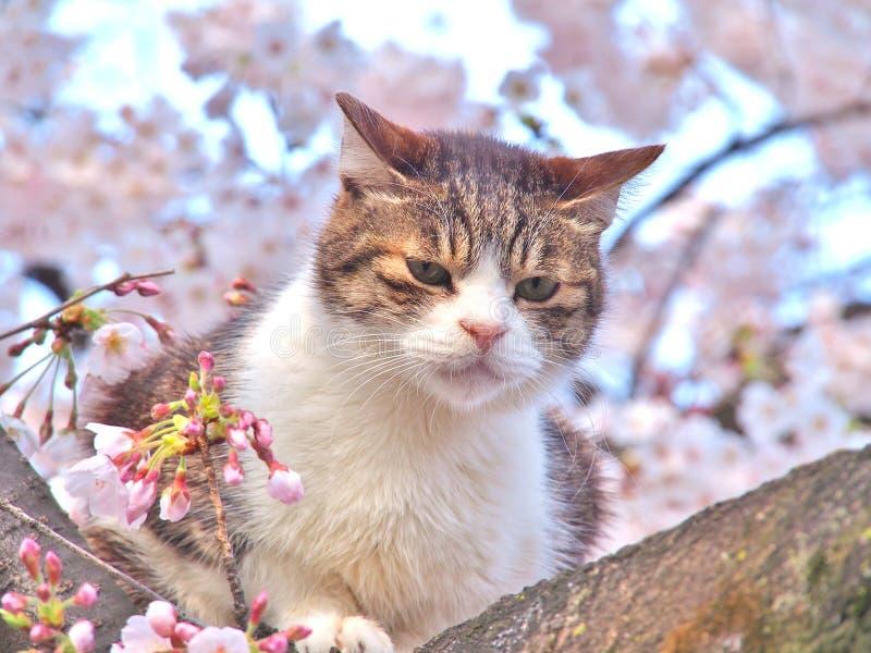 Katze der getigerten Katze, die auf einem Kirschblüte-Baumast sitzt lizenzfreie stockbilder