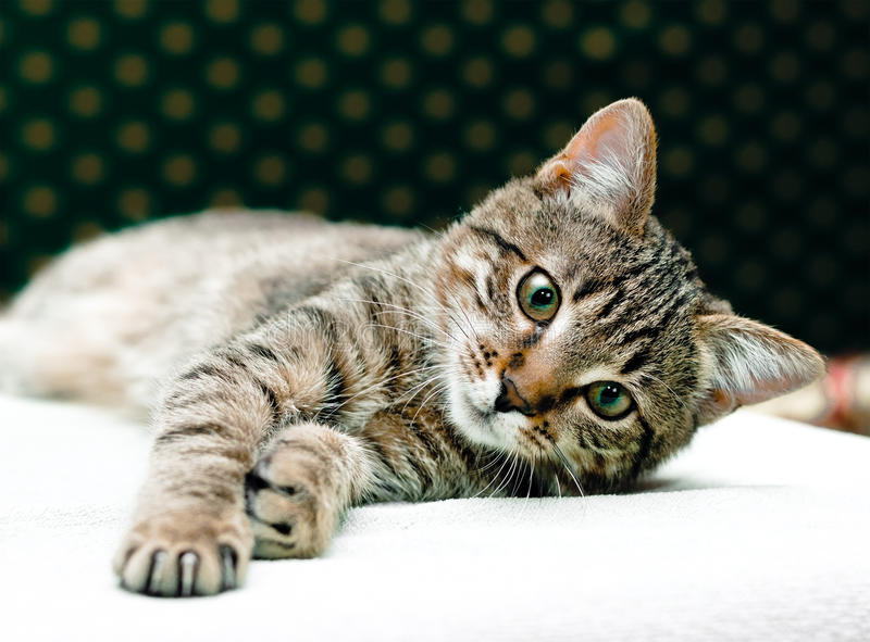 Katze der getigerten Katze entspannen sich stockfoto