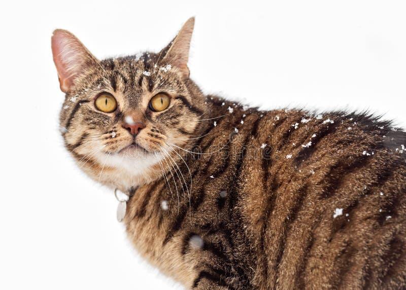 Katze der getigerten Katze im Schnee stockbilder