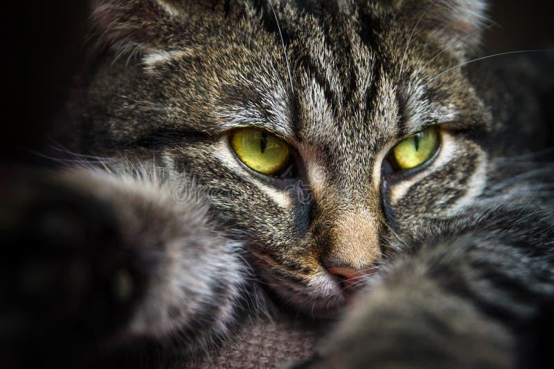 Katze der getigerten Katze mit den Gelbgrünaugen, die auf der Couch, Porträtcl liegen lizenzfreie stockfotografie