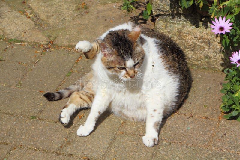 Katze der getigerten Katze mit einem Bein in der Luft stockfotografie