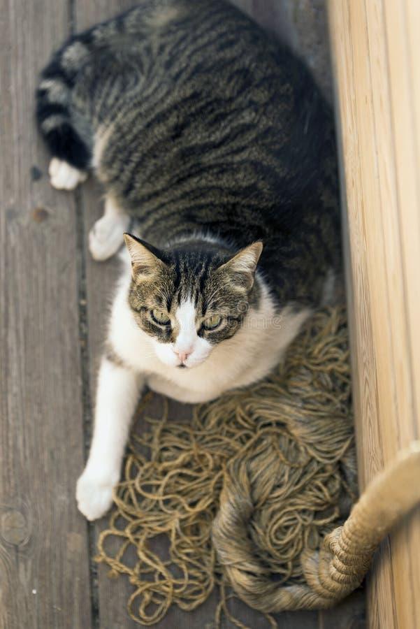 Katze der getigerten Katze mit Seil lizenzfreie stockbilder
