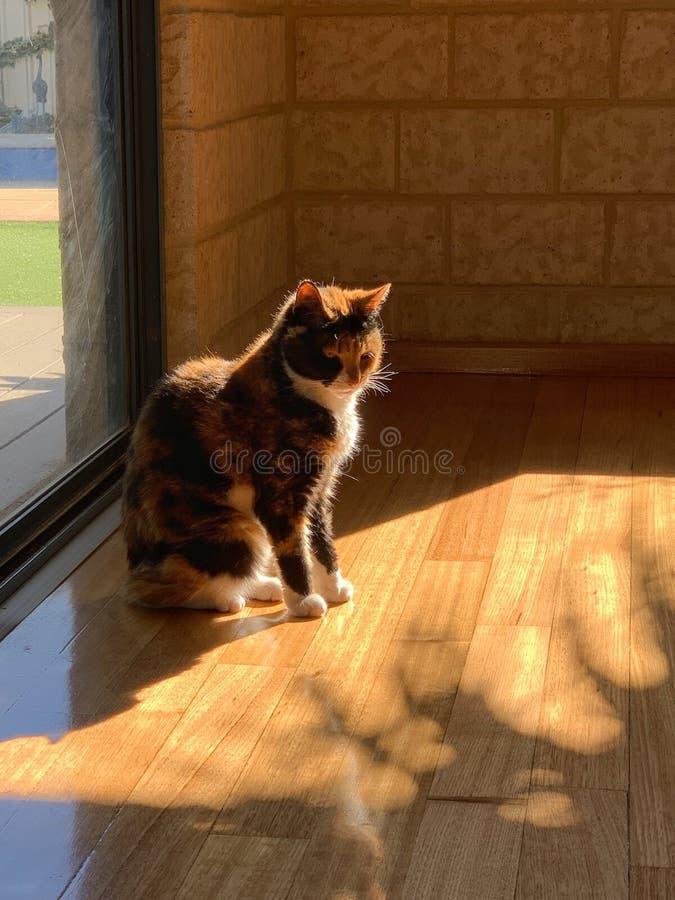 Katze der Kalikogetigerten katze, die nach innen warmes Sonnenlicht sitzt lizenzfreie stockfotos