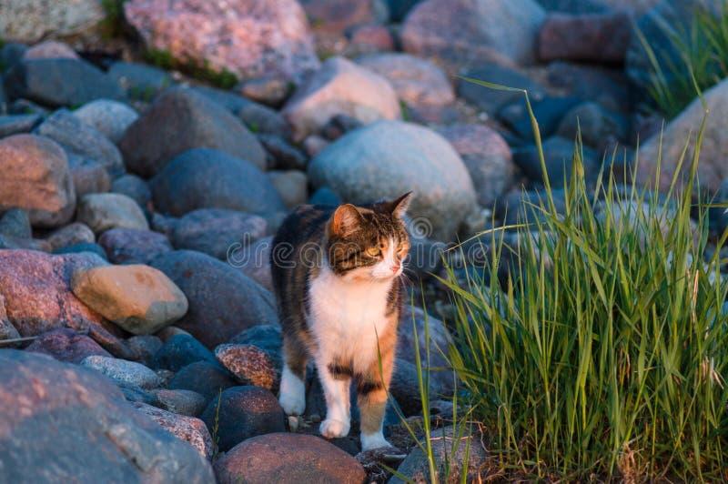 Katze an der steinigen Küste, die auf Sonnenuntergang schaut stockbild