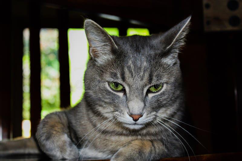Katze des grünen Auges lizenzfreies stockfoto