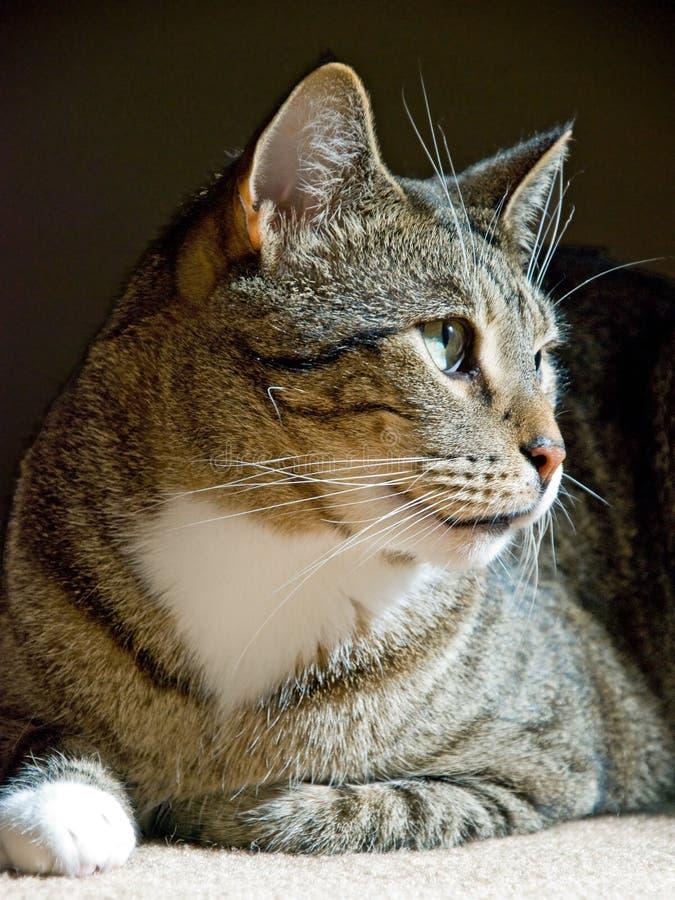 Katze, die auf dem Teppich sitzt lizenzfreie stockbilder