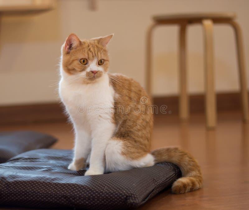 Katze, die auf einem Kissen sitzt stockfotos