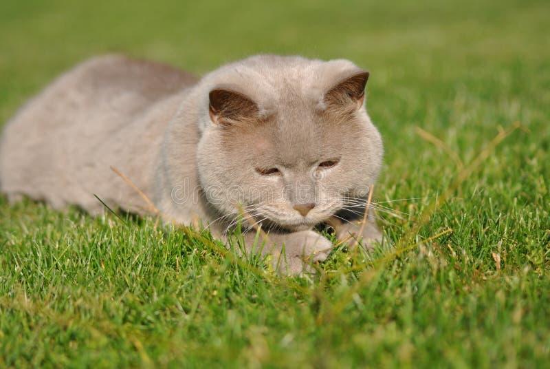 Katze, die auf Gras liegt stockfoto
