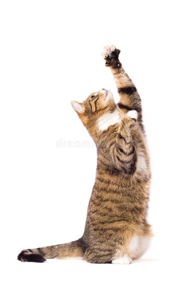 Katze, die, Bitten, fangend spielt ab. Getrennt auf Weiß. lizenzfreie stockbilder
