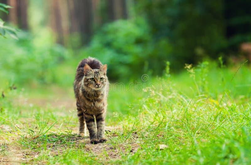 Katze, die in den Wald geht stockfotografie