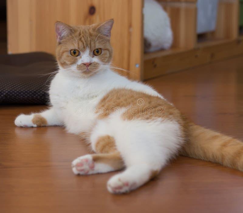 Katze, die eine sexy Haltung tut lizenzfreies stockbild