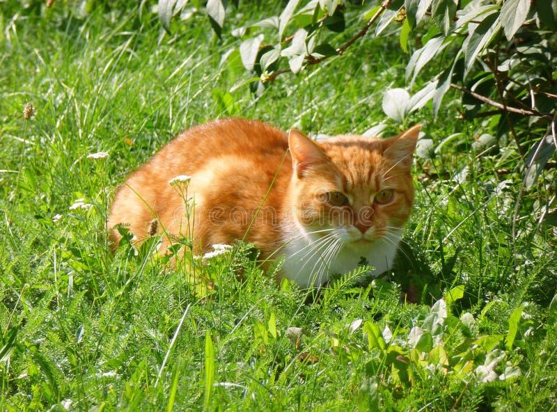 Katze, die im Gras liegt stockbilder