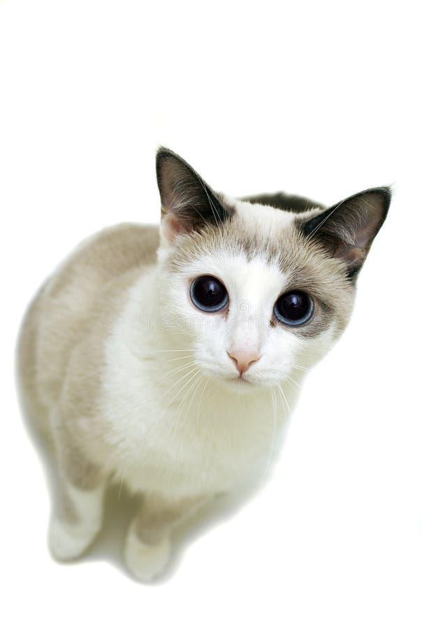 Katze, die mit Aufmerksamkeit schaut lizenzfreies stockbild