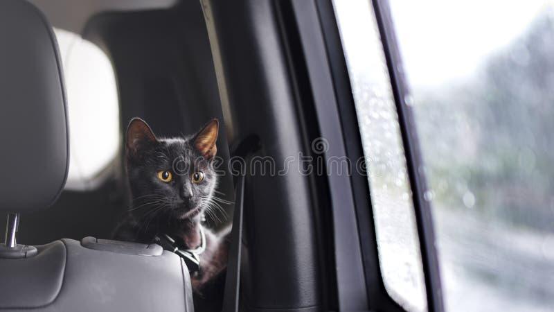 Katze, die mit dem Inhaber reist stockbilder