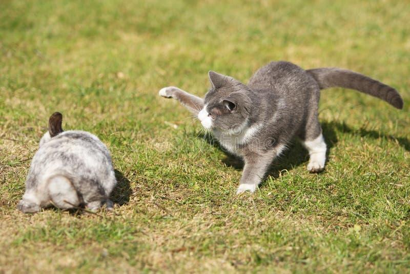 Katze, die mit einem Kaninchen spielt stockfotografie