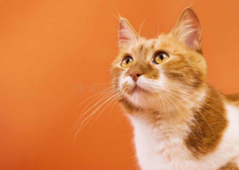 Katze, die oben schaut. Kopieren Sie Platz stockfoto